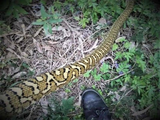 SEQ Snake Catcher servicing Brisbane, Gold Coast, Ipswich, Logan - a large snake with a meal in its stomach 5
