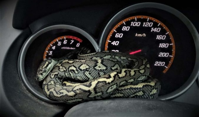 SEQ Snake Catcher servicing Brisbane, Gold Coast, Ipswich, Logan - large snake found curled up on car dashboard