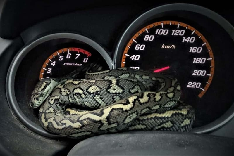 SEQ Snake Catcher servicing Brisbane, Gold Coast, Ipswich, Logan – large snake found curled up on car dashboard 2
