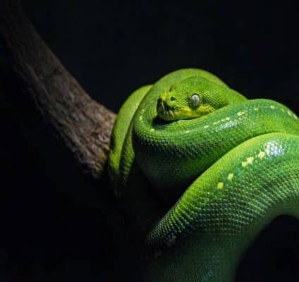SEQ Snake Catcher servicing Brisbane, Gold Coast, Ipswich, Logan – green-snake in a tree