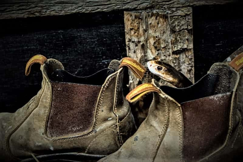 SEQ Snake Catcher servicing Brisbane, Gold Coast, Ipswich, Logan - snake found in work boots