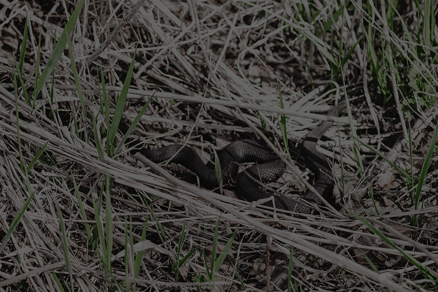 Black Snake In Grass